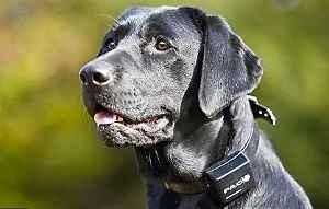 dog wearing an e-collar