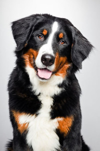 dog bernese mountain